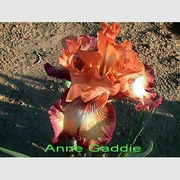 Anne Gaddie