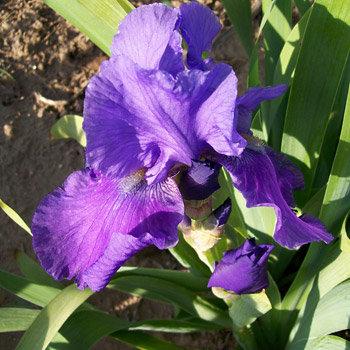 Violet Reprise