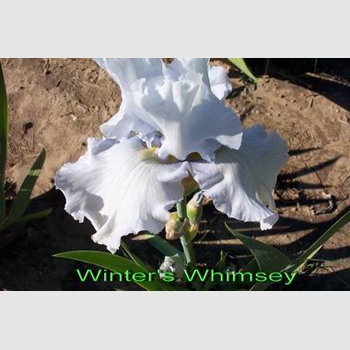 Winters Whimsey
