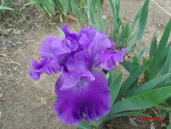 Purple Ritz